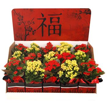 """4"""" Kalanchoe in Chinese New Year Gift Box Displayer   (Case 15)"""