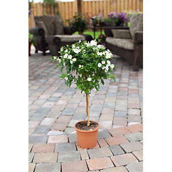 """7.5"""" Solanum Jasmine   (Case 6)"""