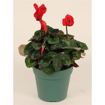 "4.5"" Cyclamen Assorted (Case 15)"