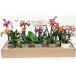 """Additional Images for 2.5"""" Phalaenopsis Orchids in Ceramic Pots       (Case 15)"""