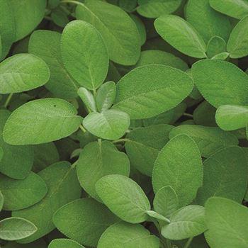 "4.5"" Herbs Organic Sage Salvia   (Case 15)"