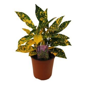 """3.5"""" Croton Golddust        (Case 18)"""