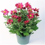 """Additional Images for 6"""" Mum Purple Daisy (Case 8)"""
