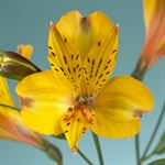 Additional Images for Alstroemeria Select Yellow