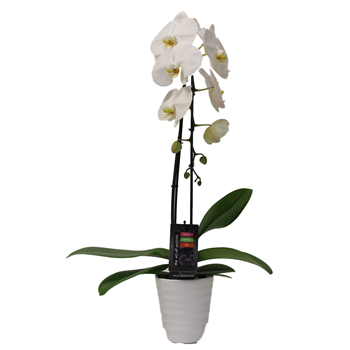 "5"" Phal. Orchid  1 Spike Cascading in Ceramic (pack 8)"