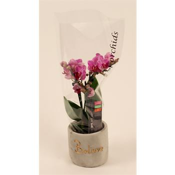 "3.5"" Phalaenopsis Multi-Spike Multiflora in Concrete  (Case 8)"