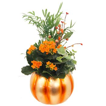 Indoor Garden Pepo Pumpkin Small PEPO201 (Pack 6)