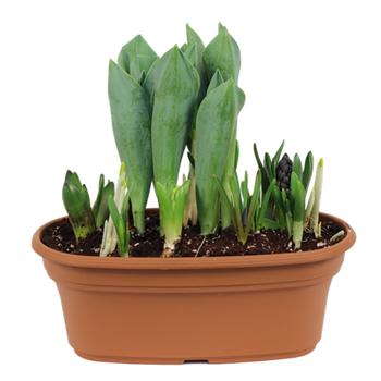 "12"" Mixed Terracotta Bulb Planter       (Case 4)"