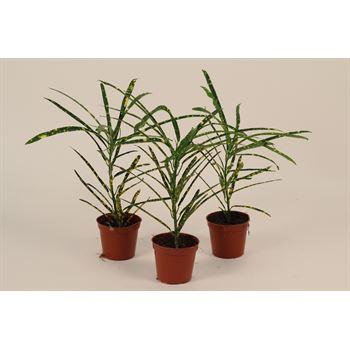 "2.5"" Croton (Pack 28)"