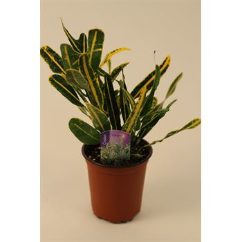 """3.5"""" Croton Banana        (Case 18)"""
