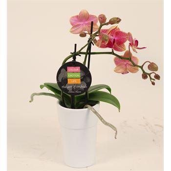 "2.5"" Phalaenopsis Orchids in Ceramic Pots       (Case 15)"