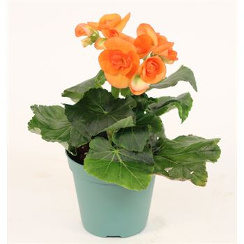 "4.5"" Begonia Orange (Case 15)"