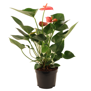 "6"" Anthurium (Case 8)"