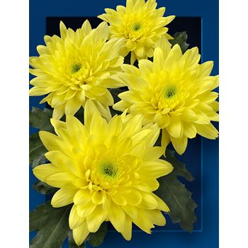 Poms (Cutmums) Yellow Flat