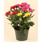 """Additional Images for 4.5"""" Mums Tri-Color (Case 15)"""