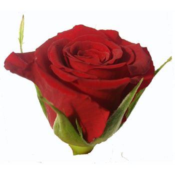 Sweetheart Rose Merci