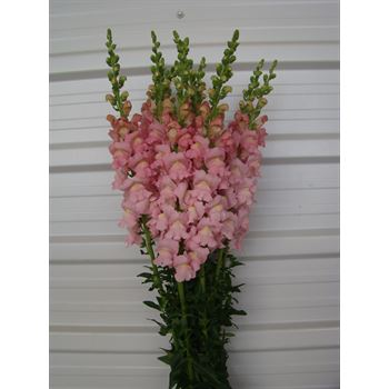 Snapdragons Medium Pink