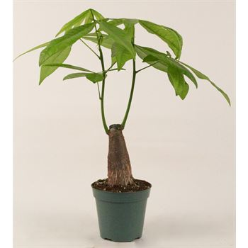 "4.5"" Pachira Non Braided Money Tree       (Case 15)"