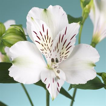 Alstroemeria Select White