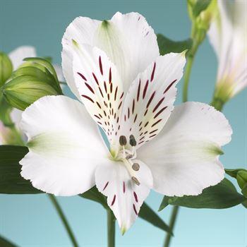 Alstroemeria Select White