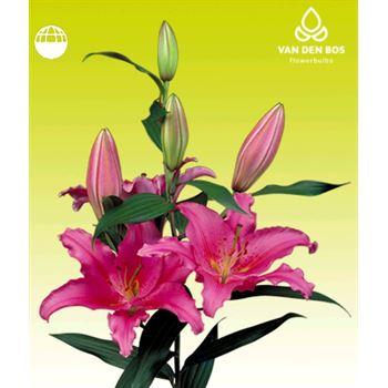 Lily Oriental 2-3 Bloom Pink