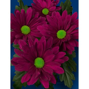 Poms (Cutmums) Purple Daisy