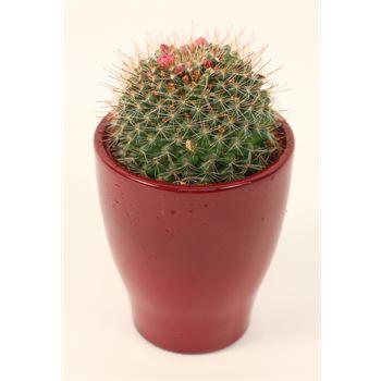 """4"""" Cactus / Succulent in Ceramic       (Case 15)"""