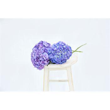 Hydrangea Local Blue