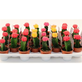 "2.5"" Grafted Cactus - Red Caps           (Case 28)"