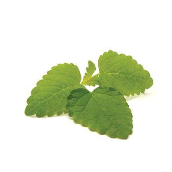 """4.33"""" Herb      Lemon Balm    (Case 10)"""