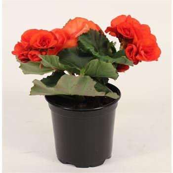 """4.5"""" Begonia Premium Assorted (Cased 15)"""
