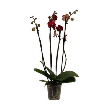 """5"""" Phal.  Orchid  3 Spike       Case 10"""