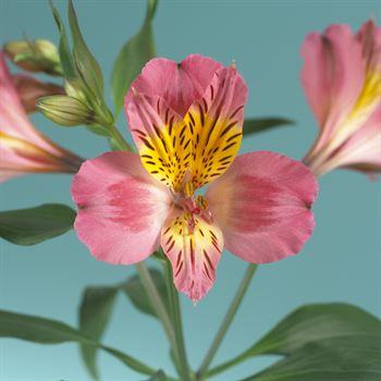 Alstroemeria Select Alyna