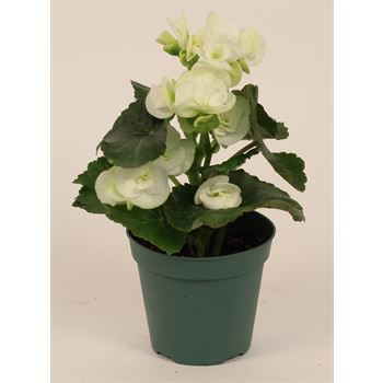"4.5"" Begonia White (Case 15)"