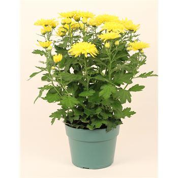 "6"" Mum Yellow Flat (Case 8)"