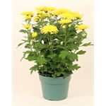 """Additional Images for 6"""" Mum Yellow Flat (Case 8)"""