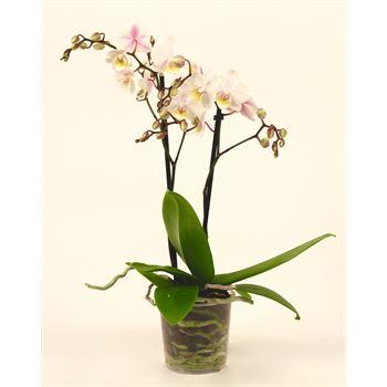 """3.5"""" Phalaenopsis Multiflora  MULTI SPIKE   (Case 18)"""