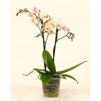 "3.5"" Phalaenopsis Multiflora       (Case 12)"