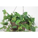 """Additional Images for 10"""" HB Philodendron      (Case 4)"""