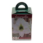 """Additional Images for 6"""" Amaryllis Kit  (Case 16)"""
