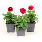 """Additional Images for 4"""" Dahlia            (Case 18)"""