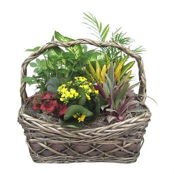 Indoor Garden Griselda Medium    (Pack 3)