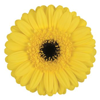 Gerbera Mini Yellow