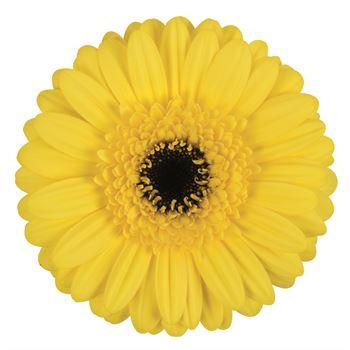 Gerbera Mini Yellow