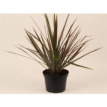 "6"" Dracaena ( potted )    (Case 8)"