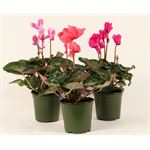 """Additional Images for 4.5"""" Ruffled Cyclamen      (Case 15)"""