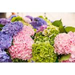 Additional Images for Hydrangea Local Asst