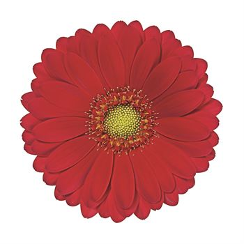 Gerbera Mini Choiz
