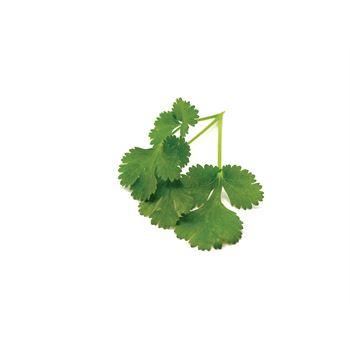 """6"""" Herbs  Coriander     (Case 6)"""