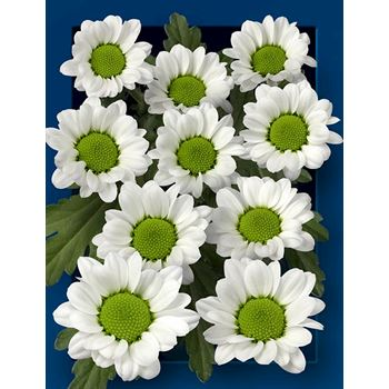 Poms (Cutmums) White Microdaisy